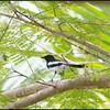 PHILIPPINE MAGPIE ROBIN <i>Copsychus saularis</i> Simply Butterflies Resort, Bilar, Bohol