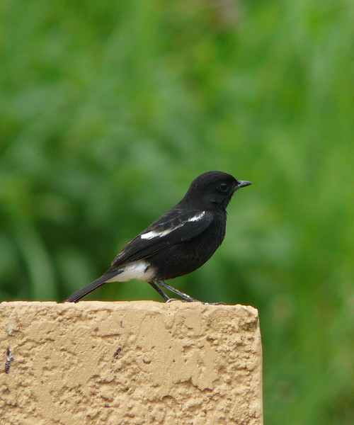 PIED BUSHCHAT, male <i>Saxicola caprata</i> Canyon Woods, Philippines