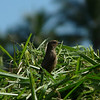 PIED BUSHCHAT, male <i>Saxicola caprata</i> Canyon Woods, Philippines