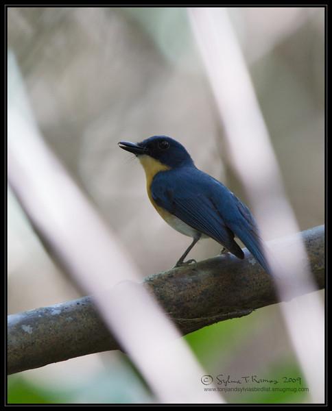 PALAWAN BLUE FLYCATCHER <i>Cyornis lemprieri</i> Coron, Palawan, Philippines
