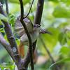RUFOUS-TAILED JUNGLE-FLYCATCHER <i>Rhinomyias ruficauda</i> PICOP, Bislig, Surigao del Sur