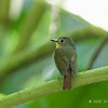 BUNDOK FLYCATCHER, female