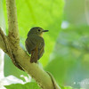 BUNDOK FLYCATCHER , female