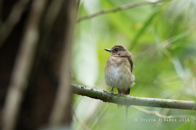 WHITE-THROATED JUNGLE FLYCATCHER