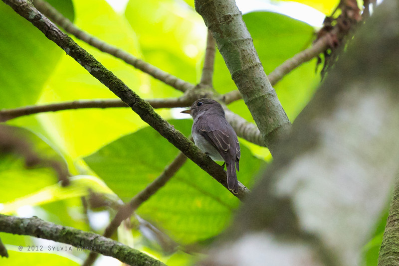 ASHY-BREASTED FLYCATCHER, showing the back view <i>Muscicapa randi</i> Makiling, Los Baños,  Laguna