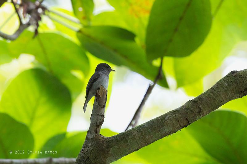 ASHY-BREASTED FLYCATCHER <i>Muscicapa randi</i> Makiling, Los Baños,  Laguna