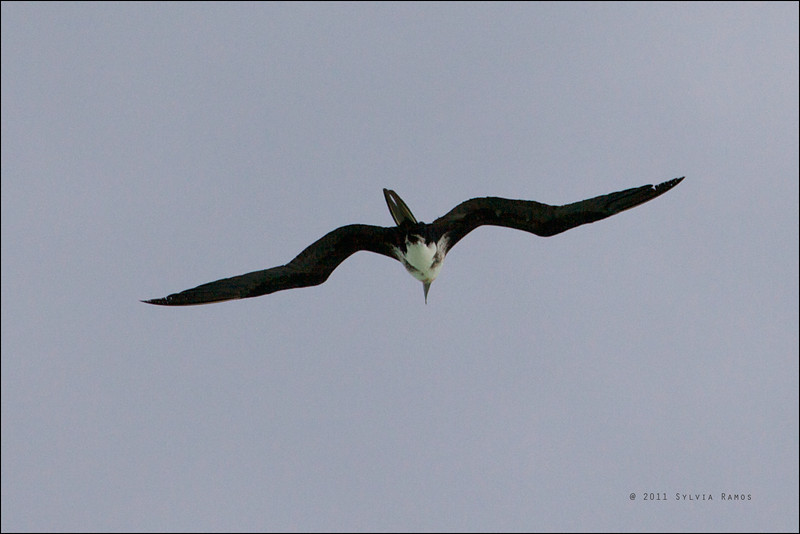 CHRISTMAS ISLAND FRIGATEBIRD, 2nd year male <i>Fregata andrewsi</i> Tubbataha Reef, Sulu Sea, Philippines  look at the tiny feet! We initially thought this was a 3rd year male, but David James said it is a 2nd year male because still has buff head and blue-grey orbital ring