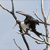 CHRISTMAS ISLAND FRIGATEBIRD, 4th year female <i>Fregata andrewsi</i> Tubbataha Reef, Sulu Sea, Philippines