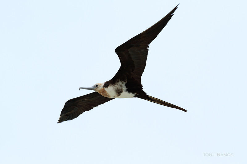 CHRISTMAS ISLAND FRIGATEBIRD, 2nd year male <i>Fregata andrewsi</i> Tubbataha Reef, Sulu Sea, Philippines  We initially thought this was a 3rd year male, but David James said it is a 2nd year male because still has buff head and blue-grey orbital ring