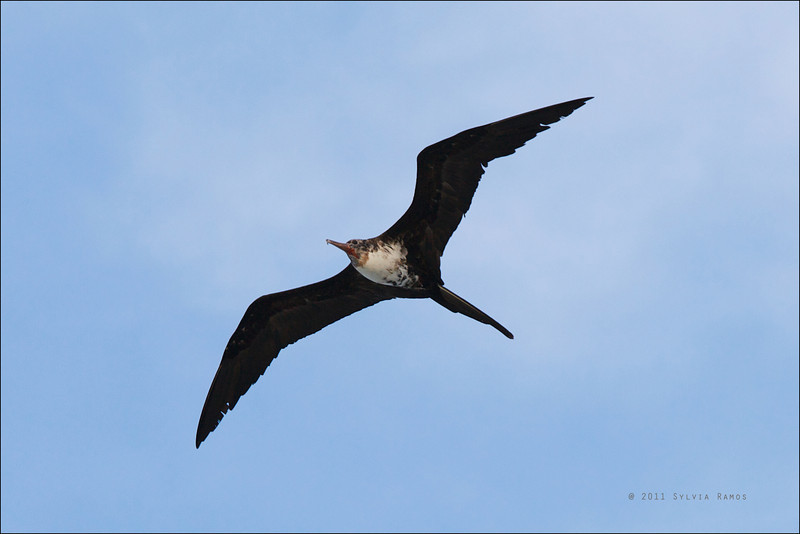 "CHRISTMAS ISLAND FRIGATEBIRD, 3rd year female <i>Fregata andrewsi</i> Tubbataha Reef, Sulu Sea, Philippines  We thought this was a 4th year female, but David James said, ""3rd year female because pink bill and red orbital ring; black-belly mottling is odd"""