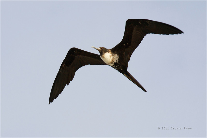 "GREAT FRIGATEBIRD, adult female <i>Fregata minor listeri</i> Tubbataha Reef, Sulu Sea, Philippines  David James said ""this bird is Christmas Island subspecies <i>listeri</i> because unique combination of blue bill and red orbital ring; also typically more dirty and brown on underparts than other subspecies""."