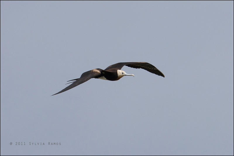 GREAT FRIGATEBIRD, juvenile <i>Fregata minor</i> Tubbataha Reef, Sulu Sea, Philippines