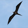 GREAT FRIGATEBIRD, 4th year male  <i>Fregata minor</i> Tubbataha Reef, Sulu Sea, Philippines  David James said that this bird is not from Christmas Island or the SW Pacific and different from the ones he's used to seeing.