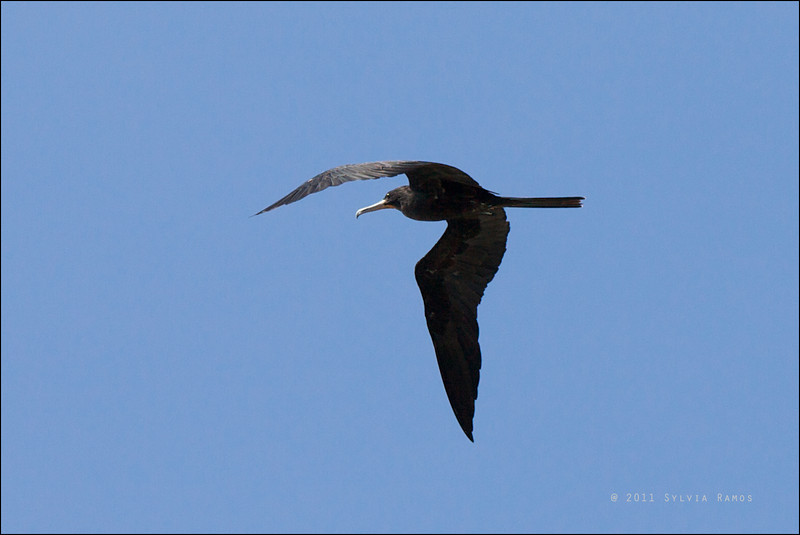 GREAT FRIGATEBIRD, male adult <i>Fregata minor</i> Tubbataha Reef, Sulu Sea, Philippines