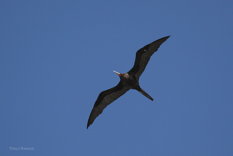 GREAT FRIGATEBIRD, adult male <i>Fregata minor</i> Tubbataha Reef, Sulu Sea, Philippines