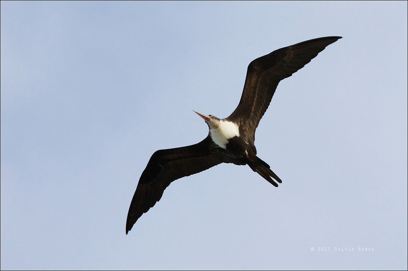 "GREAT FRIGATEBIRD, 4th year female <i>Fregata minor</i> Tubbataha Reef, Sulu Sea, Philippines  David James said that ""this bird is not from Christmas Island or from the SW Pacific because of pink bill (not blue); could be from Cocos (Keeling), Aldabra or Central/Eastern Pacific; not sure which"""