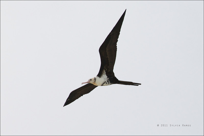 "LESSER FRIGATEBIRD, 2nd year female <i>Fregata ariel</i> Tubbataha Reef, Sulu Sea, Philippines  We thought this was a 3rd year female but David James said ""2nd yr female rather than 3rd yr, they progress faster than the rest, but it is still very buff round the head"""