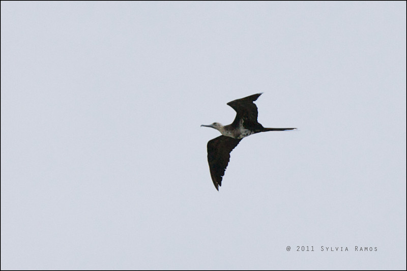"LESSER FRIGATEBIRD, 2nd year male <i>Fregata ariel</i> Tubbataha Reef, Sulu Sea, Philippines  David James agreed with our id and said, ""probably a 2nd yr male, but an odd looking bird""."