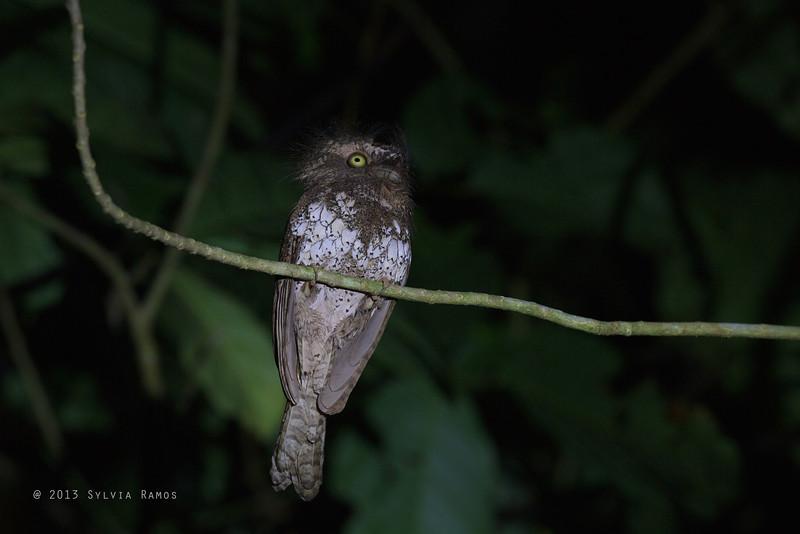 PALAWAN FROGMOUTH <i>Batrachostomus chaseni</i> Sabang, Palawan, Philippines