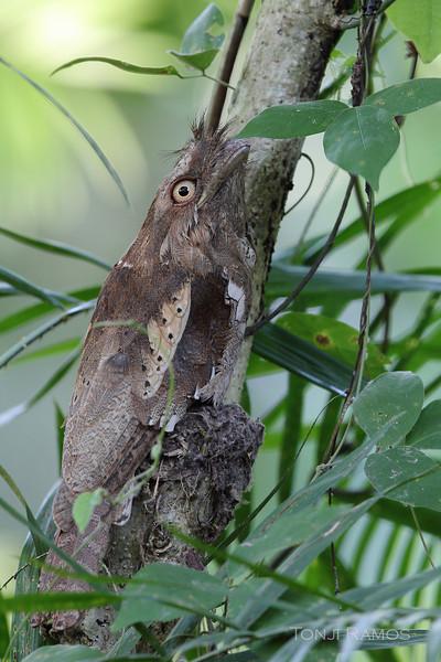 PHILIPPINE FROGMOUTH <i>Batrachostomus septimus</i> Quezon City, Philippines