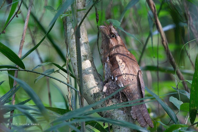 PHILIPPINE FROGMOUTH  <i>Batrachostomus septimus</i> Quezon City, Philippines  note: it is on a nest