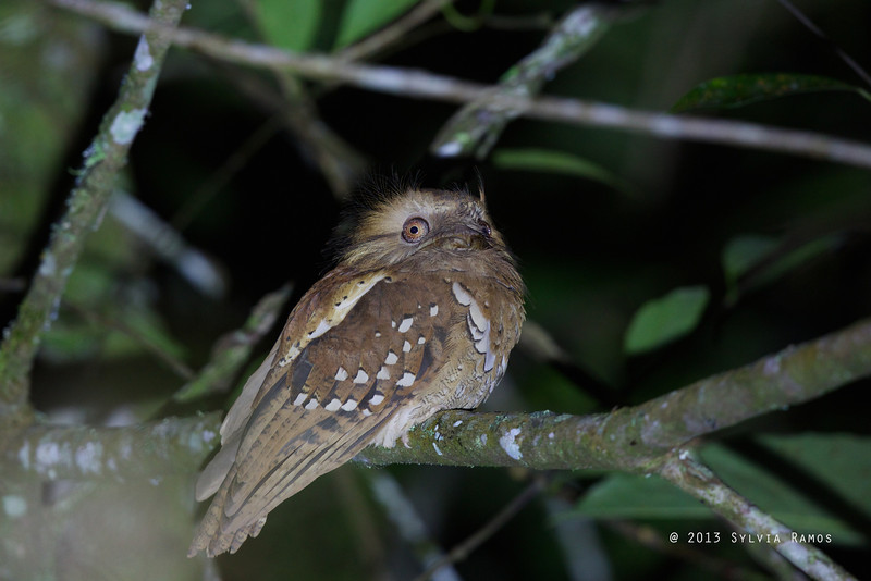PHILIPPINE FROGMOUTH <i>Batrachostomus septimus</i> Mt. Kitanglad, Bukidnon, Philippines