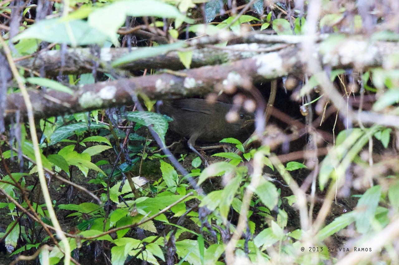 LONG-TAILED BUSH WARBLER <i>Locustella caudata</i> Bessang Pass, Ilocos Sur