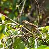 TAWNY GRASSBIRD <i>Megalurus timoriensis</i> Pandan Island, Occidental Mindoro