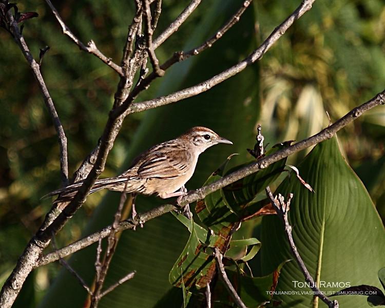 TAWNY GRASSBIRD <i>Megalurus timoriensis</i> Alabang, Muntinlupa, Philippines