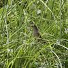 TAWNY GRASSBIRD <i>Megalurus timoriensis</i> Sta. Elena Golf Club, Philippines