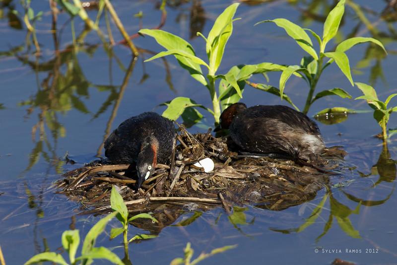 LITTLE GREBE, on a nest with an egg <i>Tachybaptus ruficollis</i> Candaba, Pampanga, Philippines
