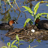 LITTLE GREBE, on a nest with an egg <i>Tachybaptus ruficollis</i> Candaba, Pampanga, Philippines