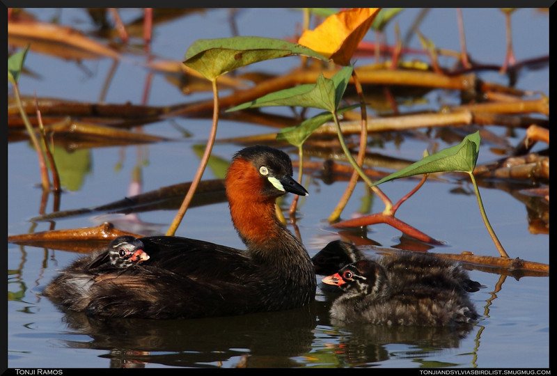 LITTLE GREBE, breeding plumage <i>Tachybaptus ruficollis</i> Candaba, Pampanga, Philippines