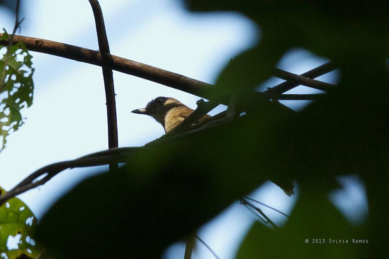 MELODIOUS BABBLER <i>Malacopteron palawanense</i> Iwahig, Puerto Princesa, Palawan