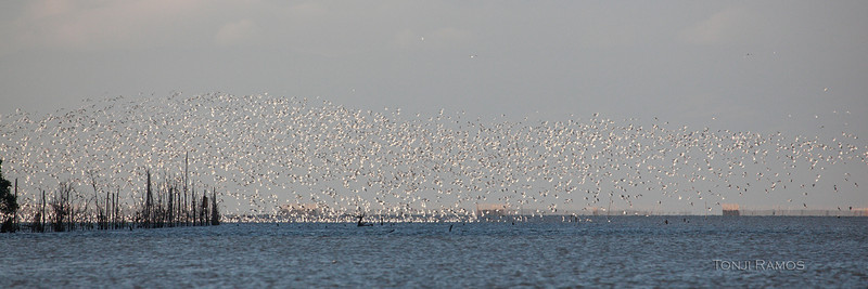 BLACK-HEADED GULL aka Common Blackheaded Gull <i>Larus ridibundus</i> Manila Bay, Pampanga