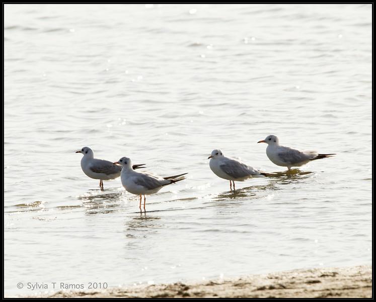 BLACK-HEADED GULL aka Common Blackheaded Gull <i>Larus ridibundus</i> Masantol, Pampanga, Philippines