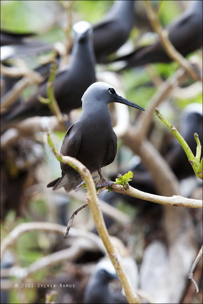 BLACK NODDY <i>Anous minutus</i> Tubbataha Reef, Sulu Sea, Philippines