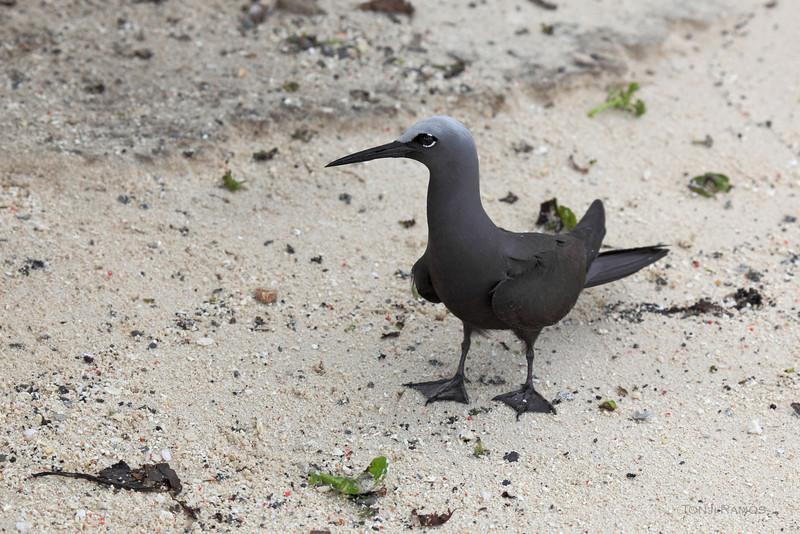 BLACK NODDY <i>Anous minutus</i> Tubbataha Reef, Sulu Sea, Philippines