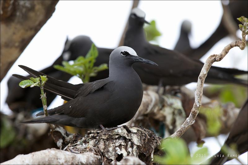 BLACK NODDY on a nest <i>Anous minutus</i> Tubbataha Reef, Sulu Sea, Philippines