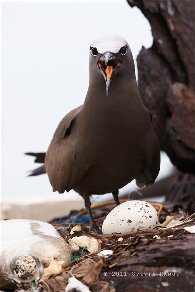 BROWN NODDY on a nest <i>Anous stolidus</i> Tubbataha Reef, Sulu Sea, Philippines