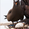 BROWN NODDY on a nest <i>Anous stolidus</i> Tubbataha Reef, Sulu Sea, Philippines