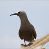 BROWN NODDY <i>Anous stolidus</i> Tubbataha Reef, Sulu Sea, Philippines