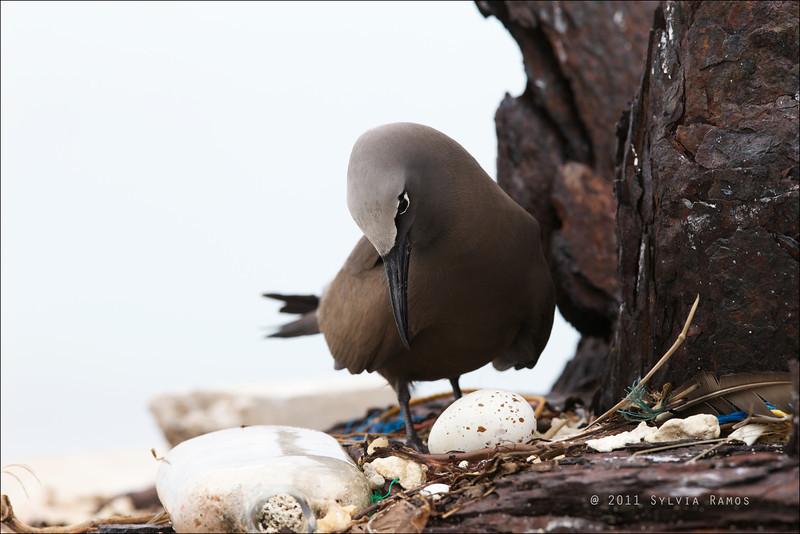 BROWN NODDY, on a nest <i>Anous stolidus</i> Tubbataha Reef, Sulu Sea, Philippines