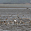 CASPIAN TERN <i>Sterna caspia</i> Tibsoc, San Enrique, Negros Occidental  with Black-tailed Godwit, Great Knot, and Asian Golden Plover