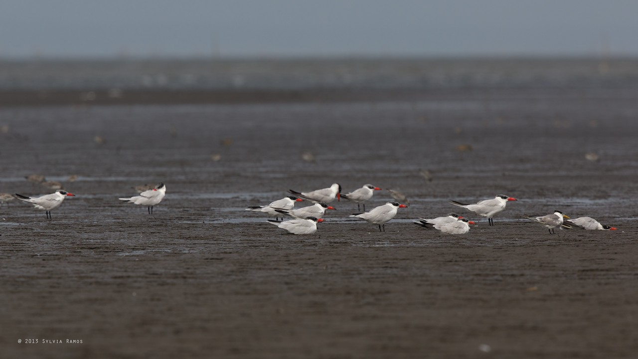 CASPIAN TERN with Great Crested Tern <i>Sterna caspia</i> Tibsoc, San Enrique, Negros Occidental   note the apparently dead Caspian Tern at the right hand side of the photo.
