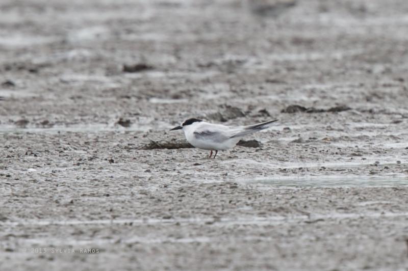 COMMON TERN, non breeding plumage <i>Sterna hirundo</i> Baranggay Tibsok, San Enrique, Negros Occidental