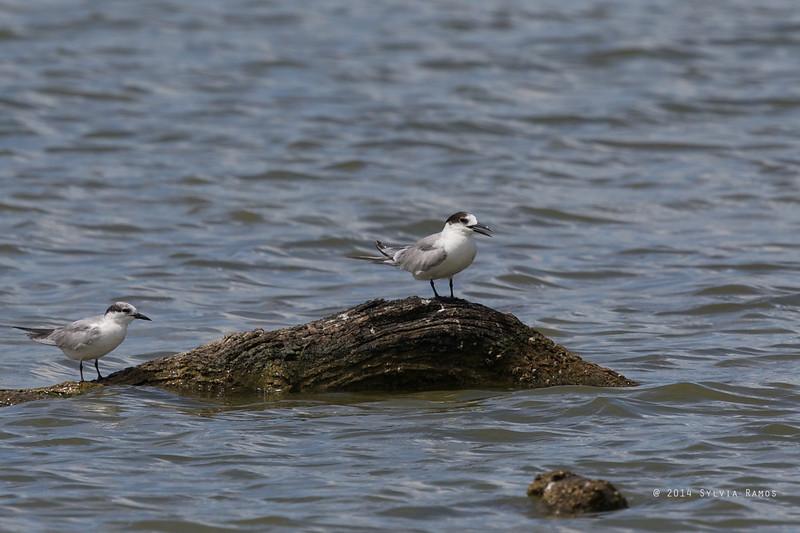 COMMON TERN, non breeding plumage <i>Sterna hirundo</i>
