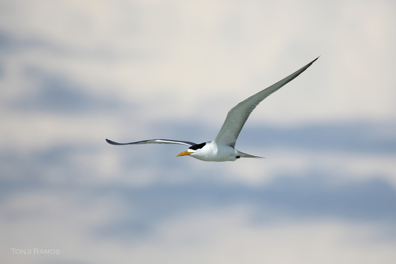 GREAT CRESTED TERN <i>Sterna bergii</i> Tubbataha Reef, Sulu Sea, Philippines