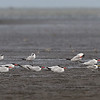 GREAT CRESTED TERN with Caspian Terns <i>Sterna bergii</i> Tibsoc, San Enrique, Negros Occidental