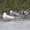 GULL-BILLED TERN  <i>Sterna nilotica</i> Masantol, Pampanga, Philippines